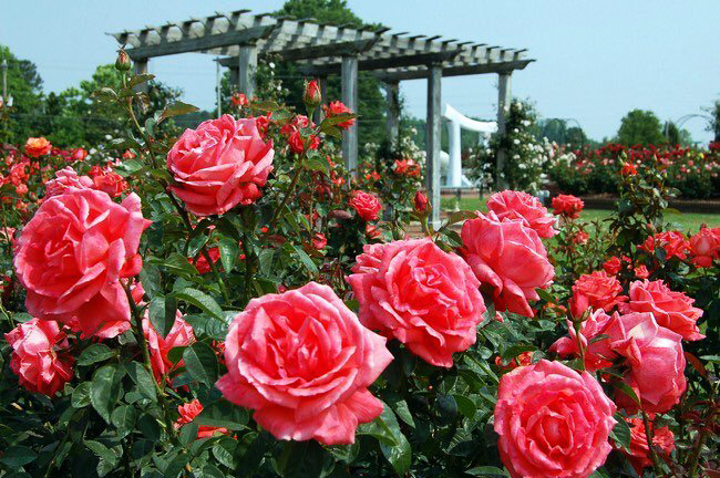 hoa hồng Bulgaria