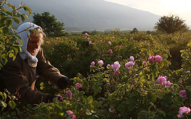 Truyền thống sản xuất tinh dầu hoa hồng