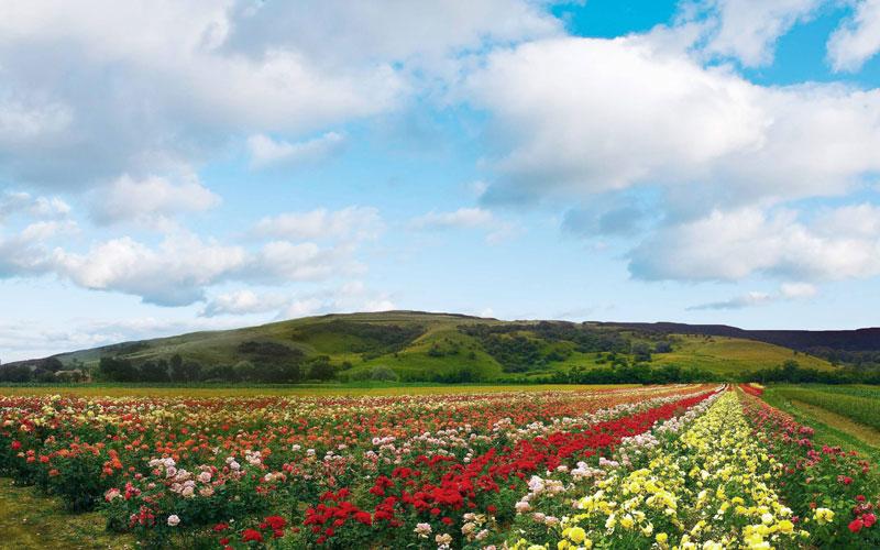 Thung lũng hoa hồng ở Bulgaria
