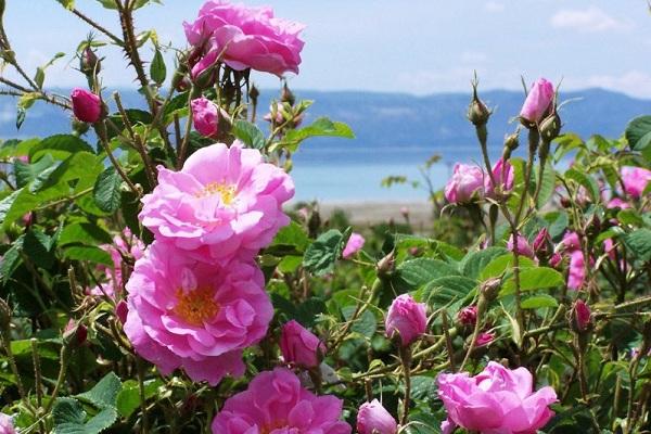 Hoa hồng ở Bulgaria