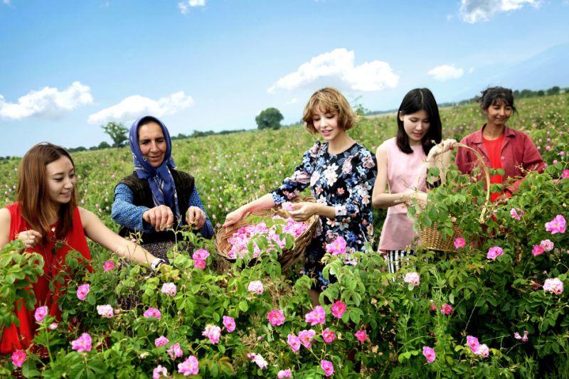 Hái hoa hồng tại Bulgaria
