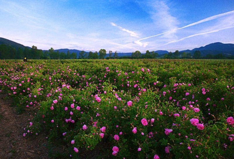 Cánh đồng hoa hồng tại Bulgaria