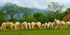 Nhìn những chú cừu gặm cỏ mà lòng thanh thản